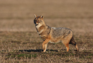 The golden jackal has been sighted in Estonia, Germany, Denmark and the Netherlands.
