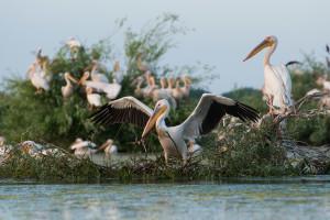 White pelicans gather in the aquatic Somova-Parches complex in the upper Danube Delta rewilding area.
