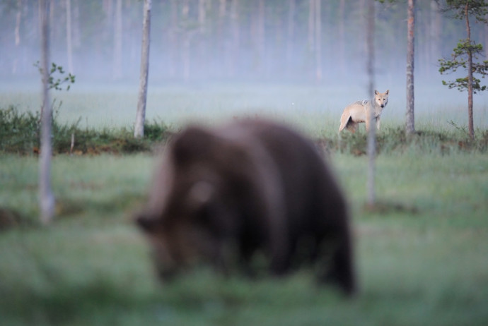 A study commissioned in 2011 by Rewilding Europe from the Zoological Society of London (and partners) found five European carnivore species – the brown bear, Eurasian lynx, wolverine, grey wolf and golden jackal – all expanding their range.