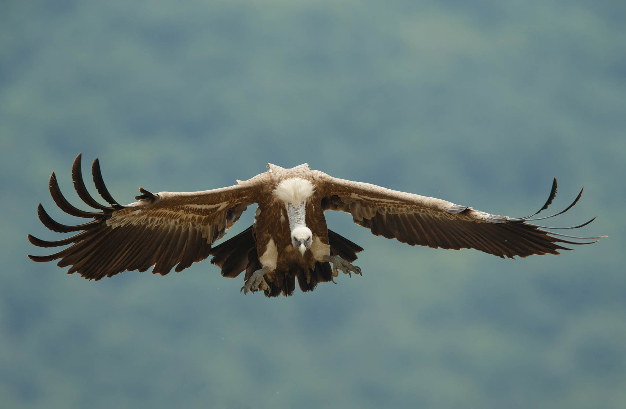 The number of griffon vulture pairs in the Rhodope Mountains rewilding area in Bulgaria has now reached 95.