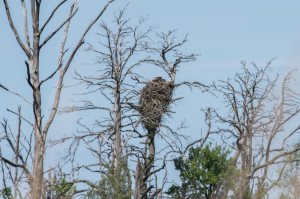 White-tailed eagle nest spotted in the Oder Delta lagoon.