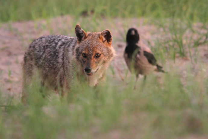 The golden jackal is currently staging a spectacular westward expansion of its range.