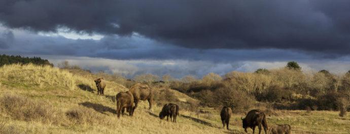 European Bison in Kraansvlak - 100 years ago extinct in the wild, but now back in nature.