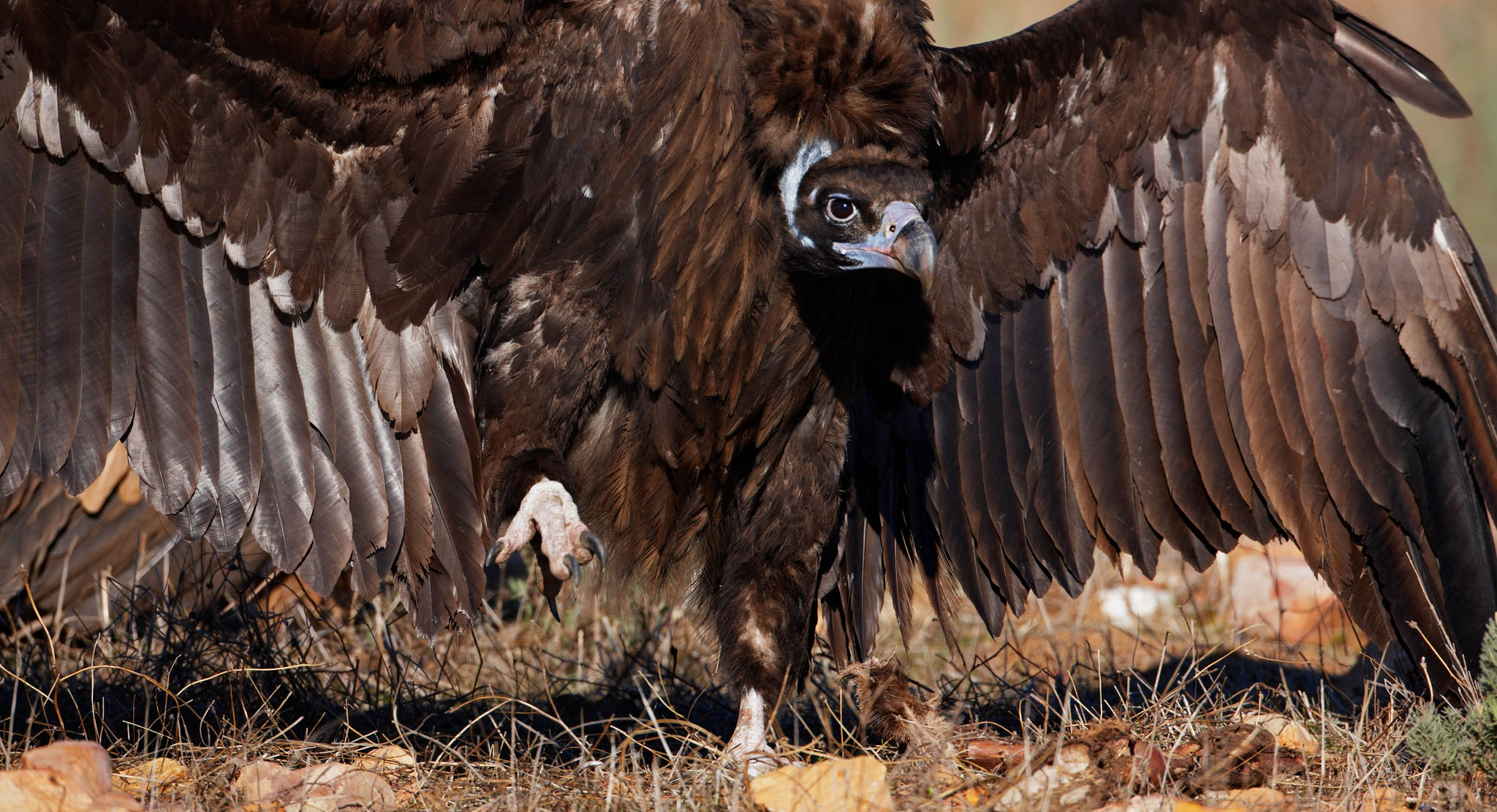 The ongoing construction of artificial nests in the Rhodope Mountains will hopefully soon see the spectacular black vulture breeding once again in Bulgaria.