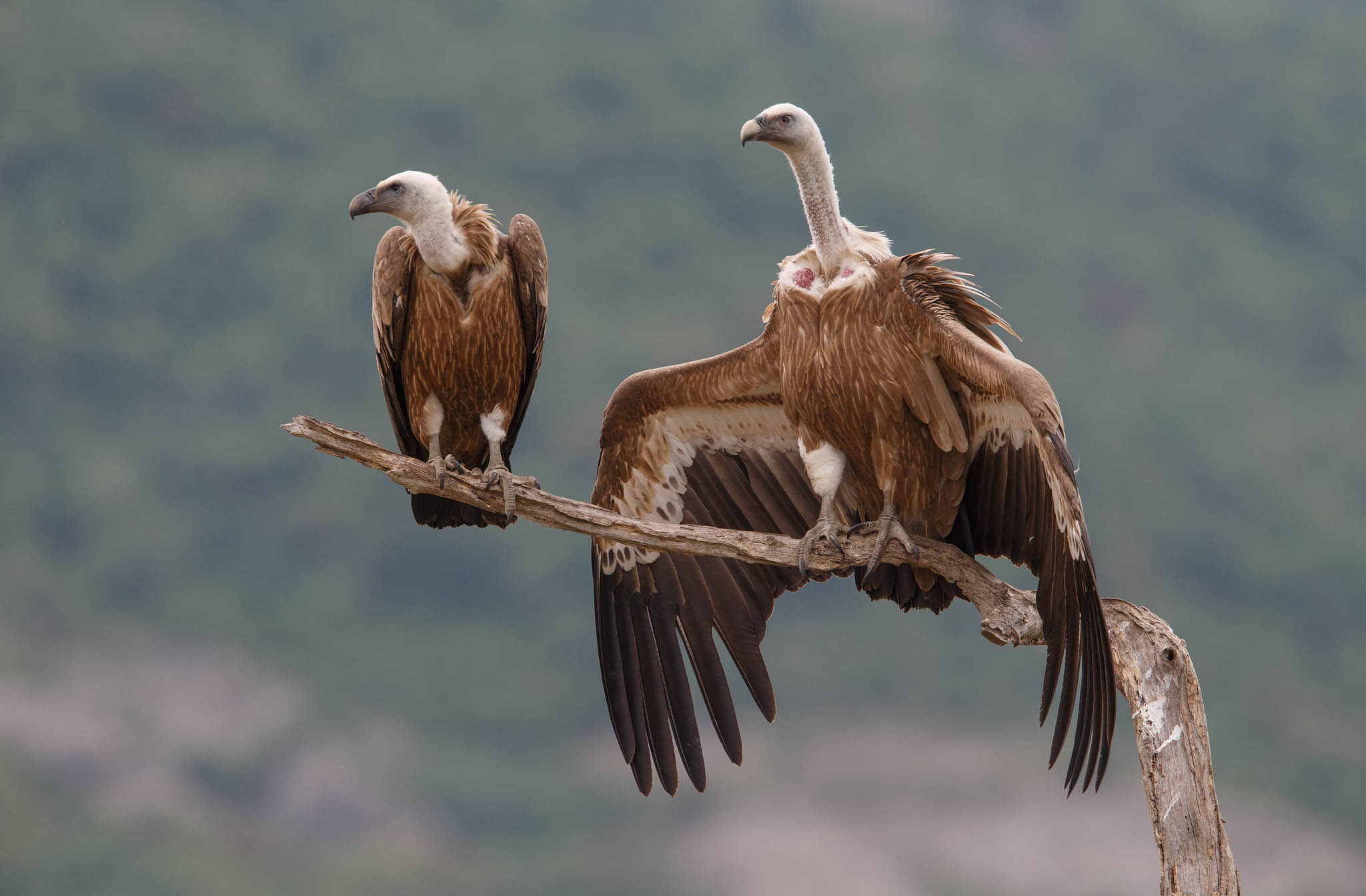 Griffon vultures (pictured here) have had another successful breeding season in the Rhodope Mountains rewilding area, with 62 young birds fully fledged.