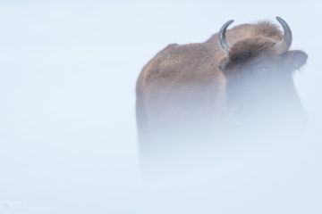 Bison do not pose an immediate danger, but it must be remembered that they are still wild animals.