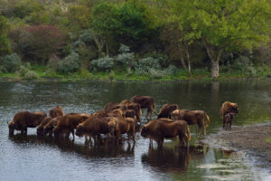 Until now, over 25 bison have been born within the Kraansvlak rewilding project.