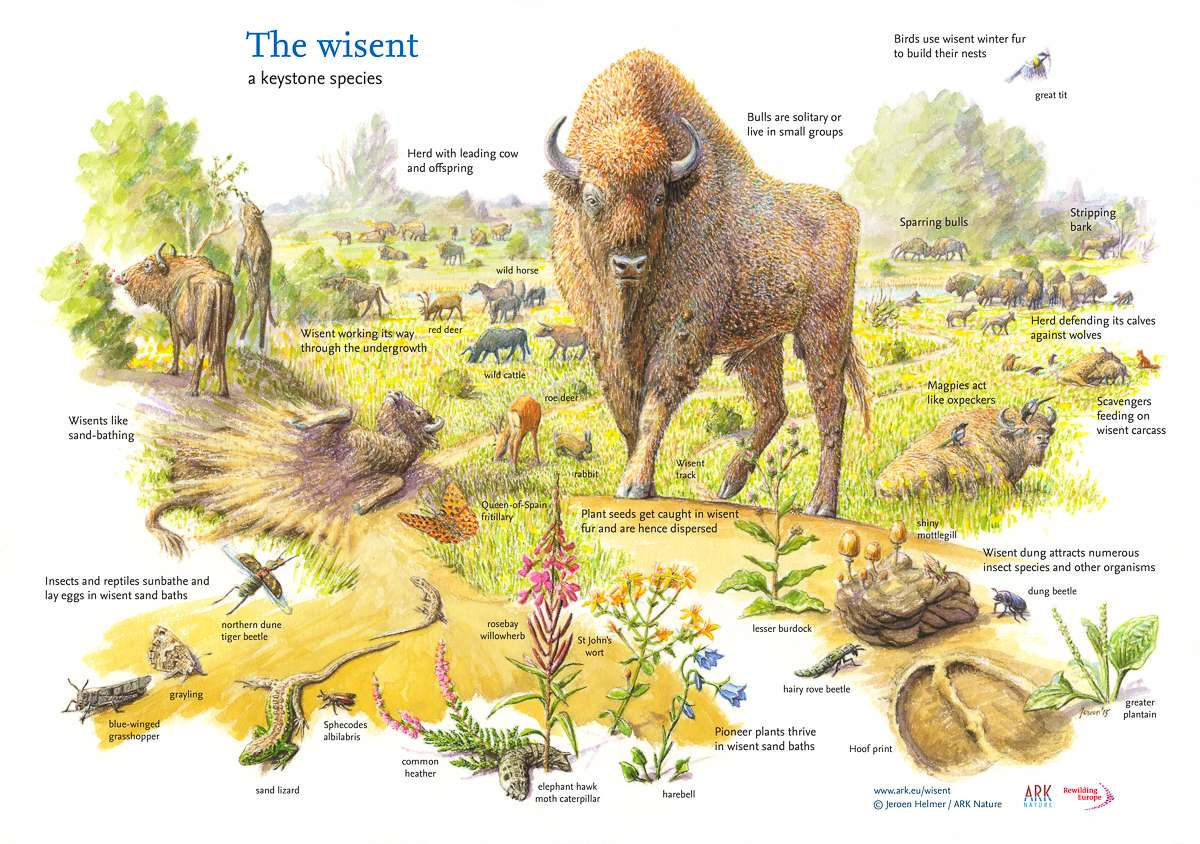 Ode To The European Bison