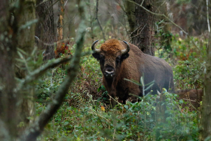 Having been reintroduced in 1980, around 200 bison now populate the province of Western Pomerania in northwest Poland, on the border with Germany.