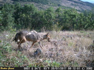 The golden jackal, captured here on one of Philip Marinov's wildlife cameras, is one of the carnivorous species present in the Rhodope Mountains rewilding area.