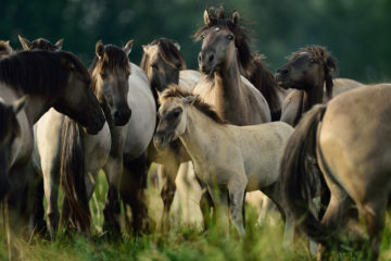 """The European Wildlife Bank """"lends"""" herds of wild herbivores, such as horses, bovines and bison, for reintroduction into Europe's natural landscapes."""