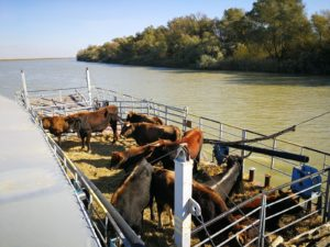 A barge transports second shipment of Tauros to the delta village of Sfântu Gheorghe.