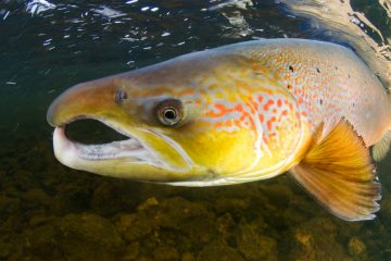 The Atlantic salmon can follow its natural migration route once again after the removal of Sindi Dam.