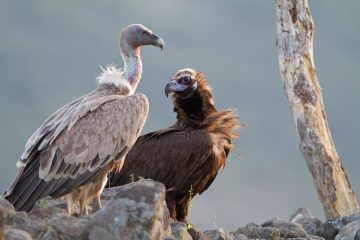 Cinereous vulture and griffon vulture