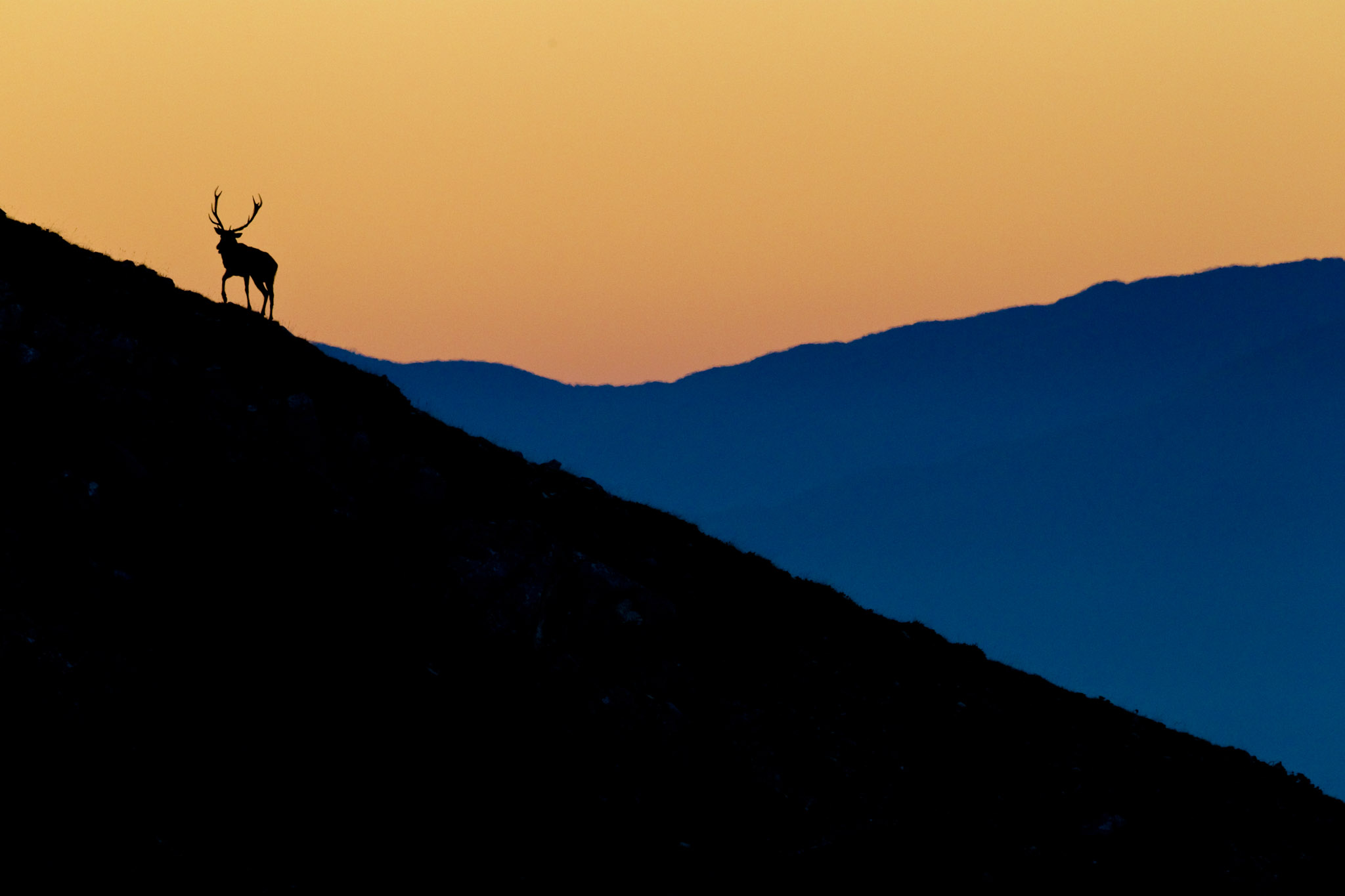 A red deer stag silhouetted against the sunrise in the Central Apennines rewilding area in Italy.