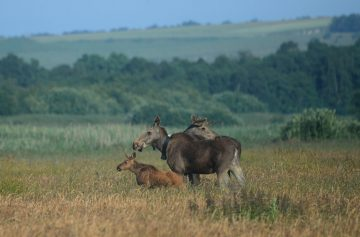 Moose, moose-bull and a young moose-calf in Lille Vildmose.
