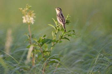 Lithuania's Nemunas Delta is one of the most important breeding sites for the rare aquatic warbler.
