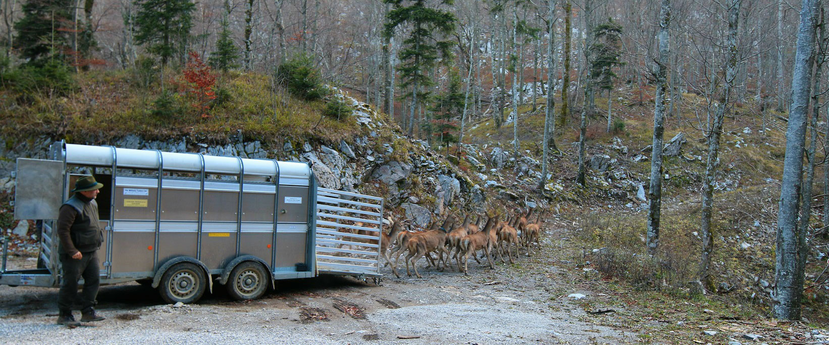Davor Krmpotic, Rewilding Velebit team leader, releases 36 red deer into the Velebit Wildlife Reserve.