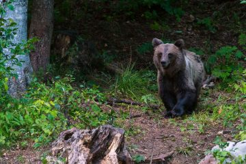 A brown bear photographed from a wildlife watching hide in the Velebit Wildlife Reserve.