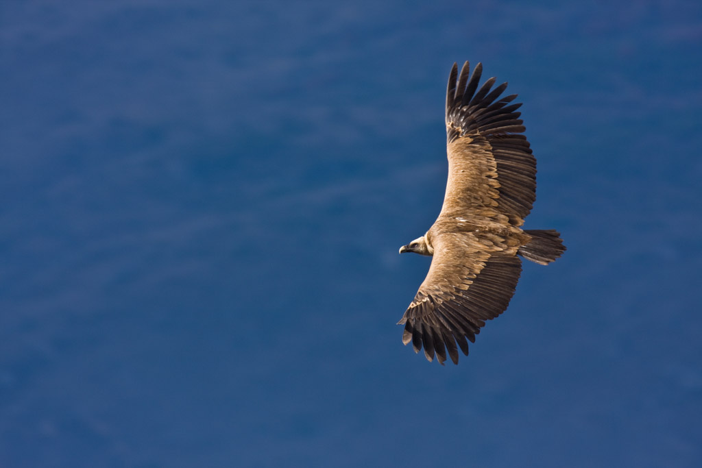 Griffon vulture Arda was fitted with a GPS transmitter in the Eastern Rhodopes rewilding area in 2016. In 2018 he journeyed to the Middle East to overwinter for a third consecutive year.