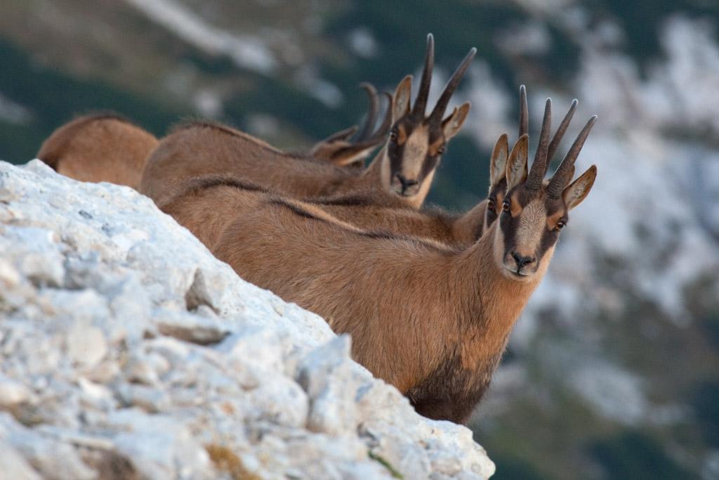 Apennine chamois