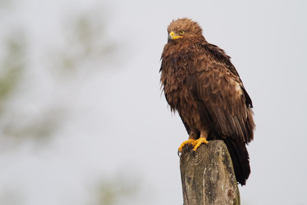 lesser-spotted eagle