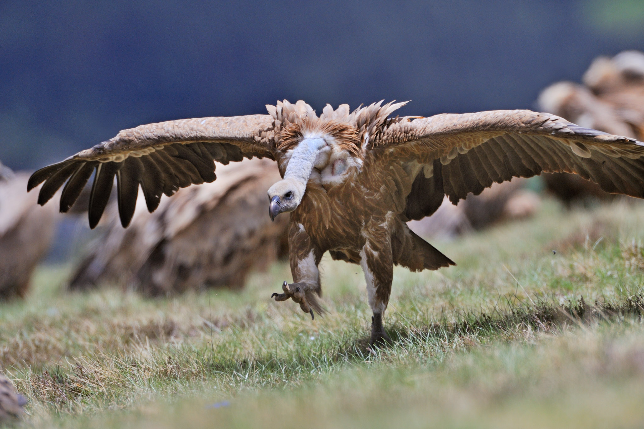 Veterinary drugs such as diclofenac are one of the main threats facing vultures in Europe and across the globe.