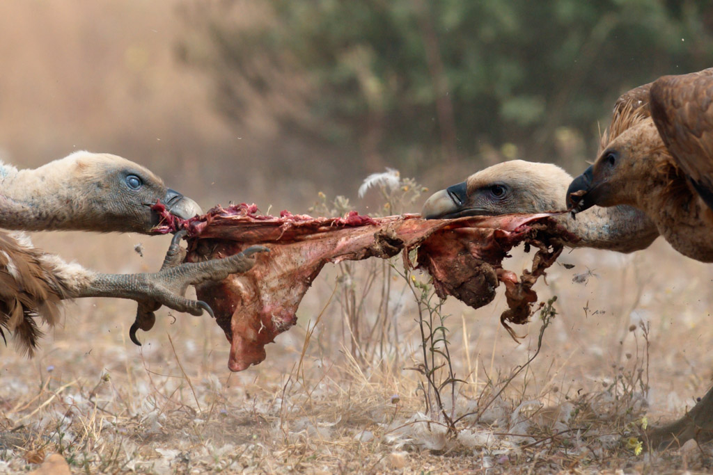 In August the use of GPS tags gave the LIFE Vultures team new insight into the increasingly vital role that carcasses play in the Rhodopean cycle of life.