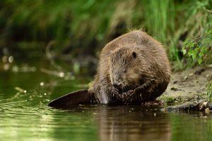 beaver Peene River Oder Delta
