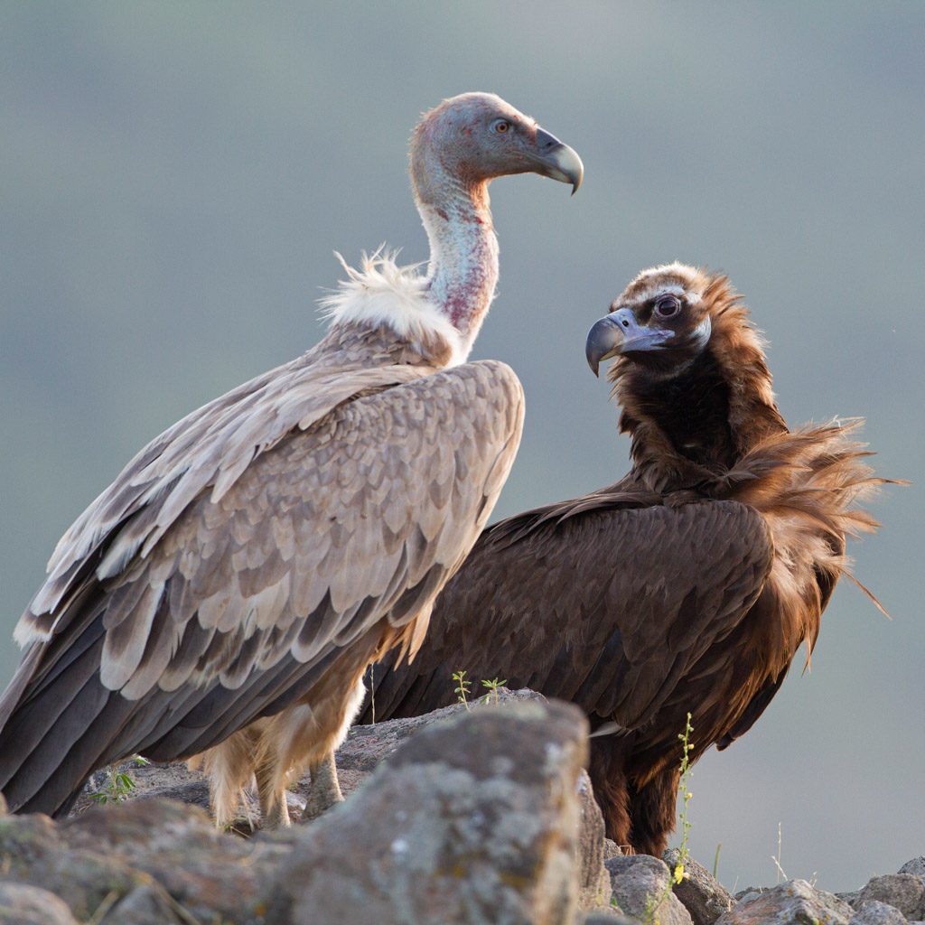 The project LIFE Vulture aims to contribute to the conservation of black and griffon vultures in the cross-border Rhodope mountains.
