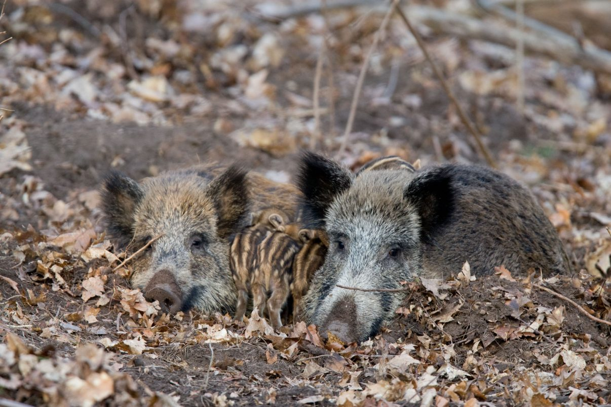 Wild boar (Sus scropha) females with piglets at rest in forest. Italy