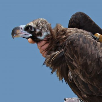 Helena's flight was the longest recorded of any black vulture tagged under the LIFE Vultures project.