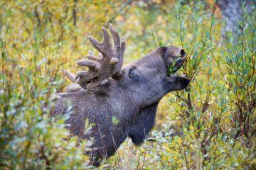 European elk (Alces alces) male feeding on willows. Rapadalen valley, Sarek National Park, World Heritage Laponia, Swedish Lapland, Sweden.