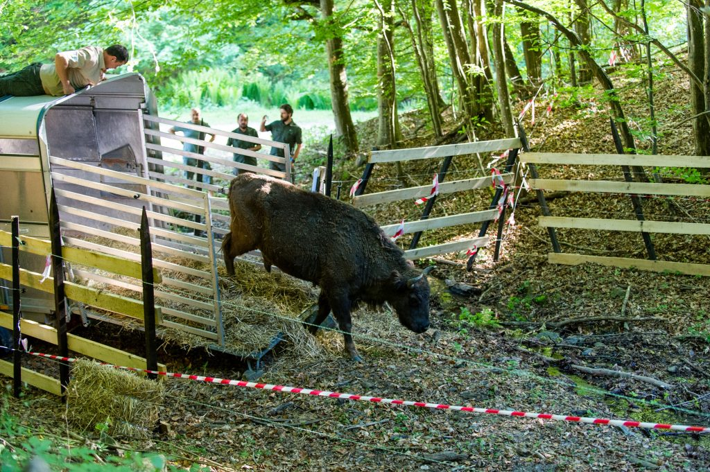 European bison released at the new bison rewilding site in Romanian Poiana Ruscă Mountains. The new site will support the creation of a genetically and demographically viable European bison population in the Southern Carpathian mountain range.