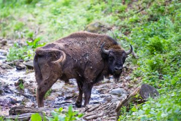 The first European bison released at the new site in the Poiana Ruscă Mountains.
