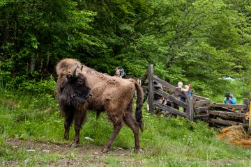 European bison after release in the Southern Carpathians rewilding area