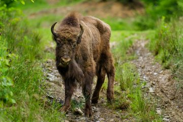 Before the newly reintroduced bison are allowed to roam free the animals will undergo a two-month acclimatisation period, living in successively larger enclosures before they are finally released into the wild.