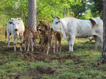 A breeding herd of the Auerrind project in Lorsch, Germany.