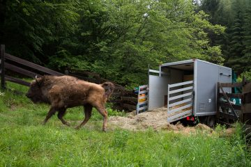 The final stage of the reintroduction marathon saw four bison from Tierpark Zoo Berlin, one from Damerower and two from Italian Parco Natura Viva, released into the Țarcu Mountains.