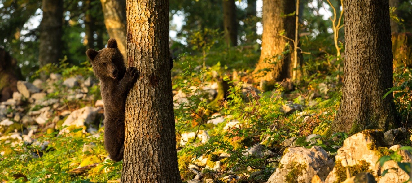 Slovenia's burgeoning brown bear population is contributing to the rise of sustainable, nature-based tourism.