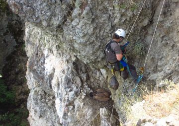 A member of the Rhodope Mountains rewilding team scales cliffs to reach a griffon vulture nest.
