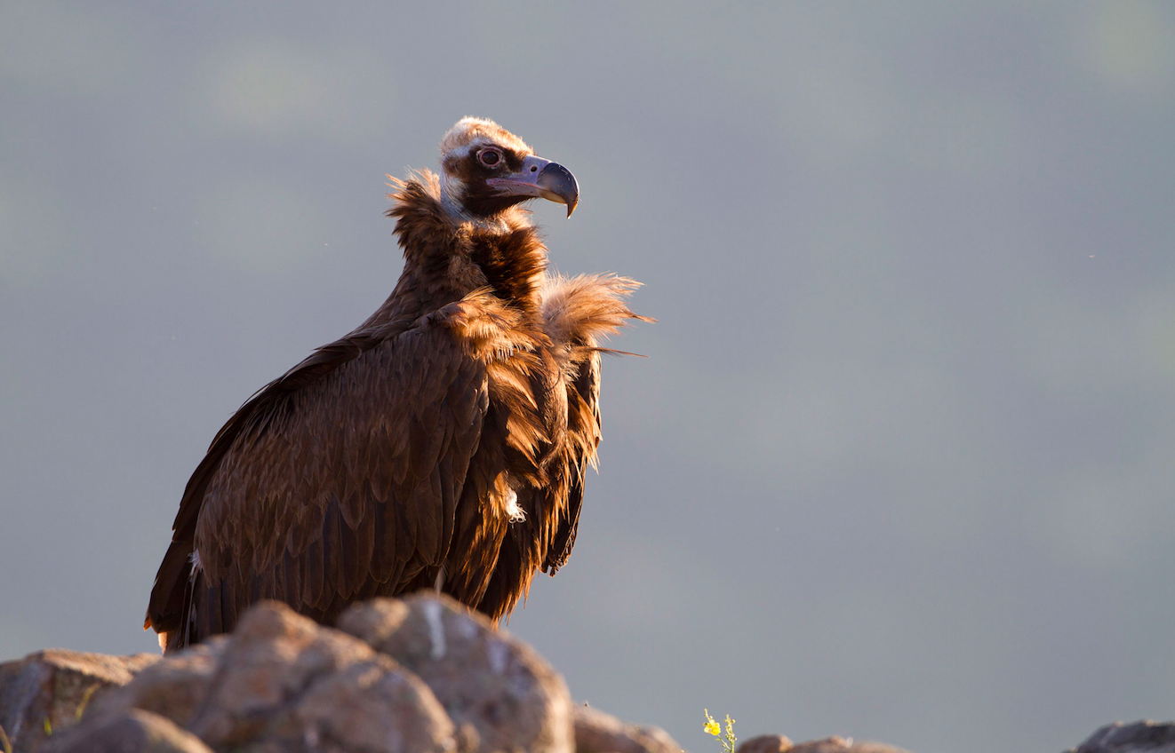 Black vultures from Dadia National Park in northern Greece often visit Bulgaria's Rhodope Mountains foraging for food, with some venturing even farther afield.