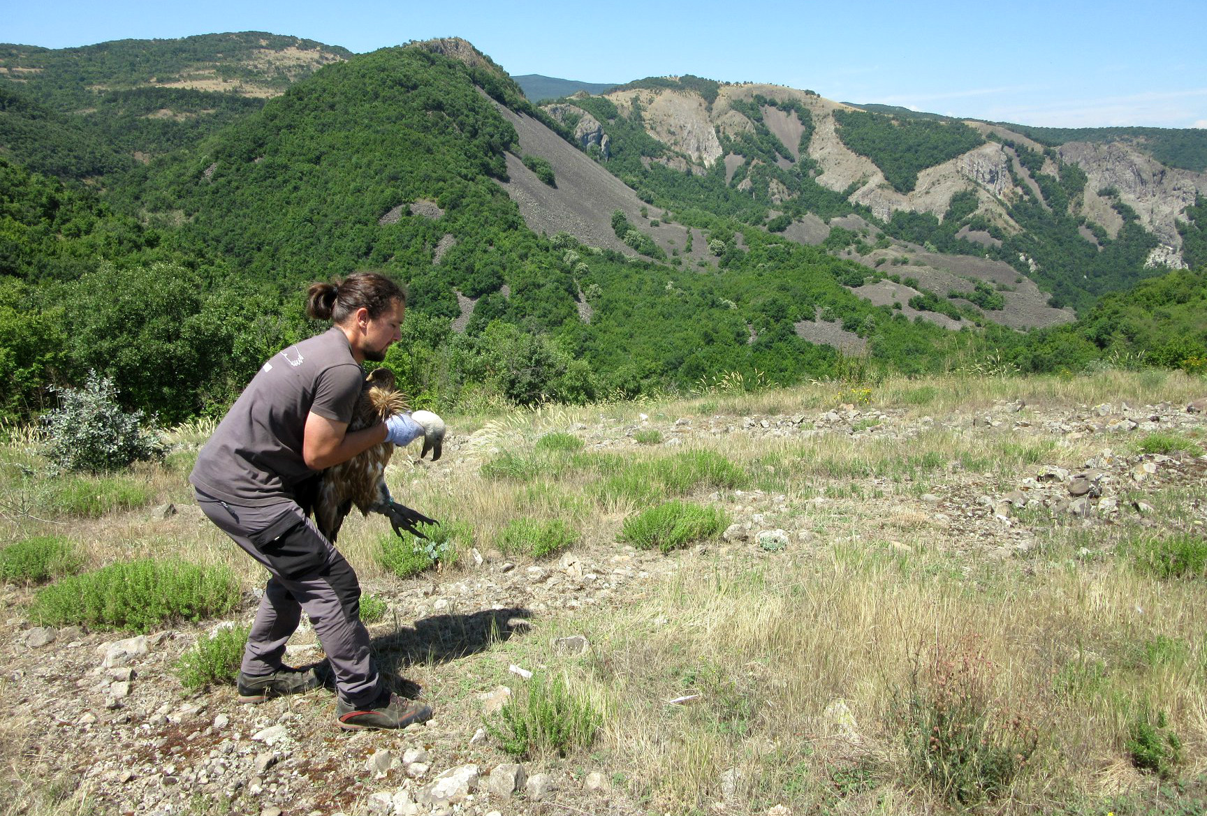 A tagged griffon vulture is released in the Rhodope Mountains rewilding area.