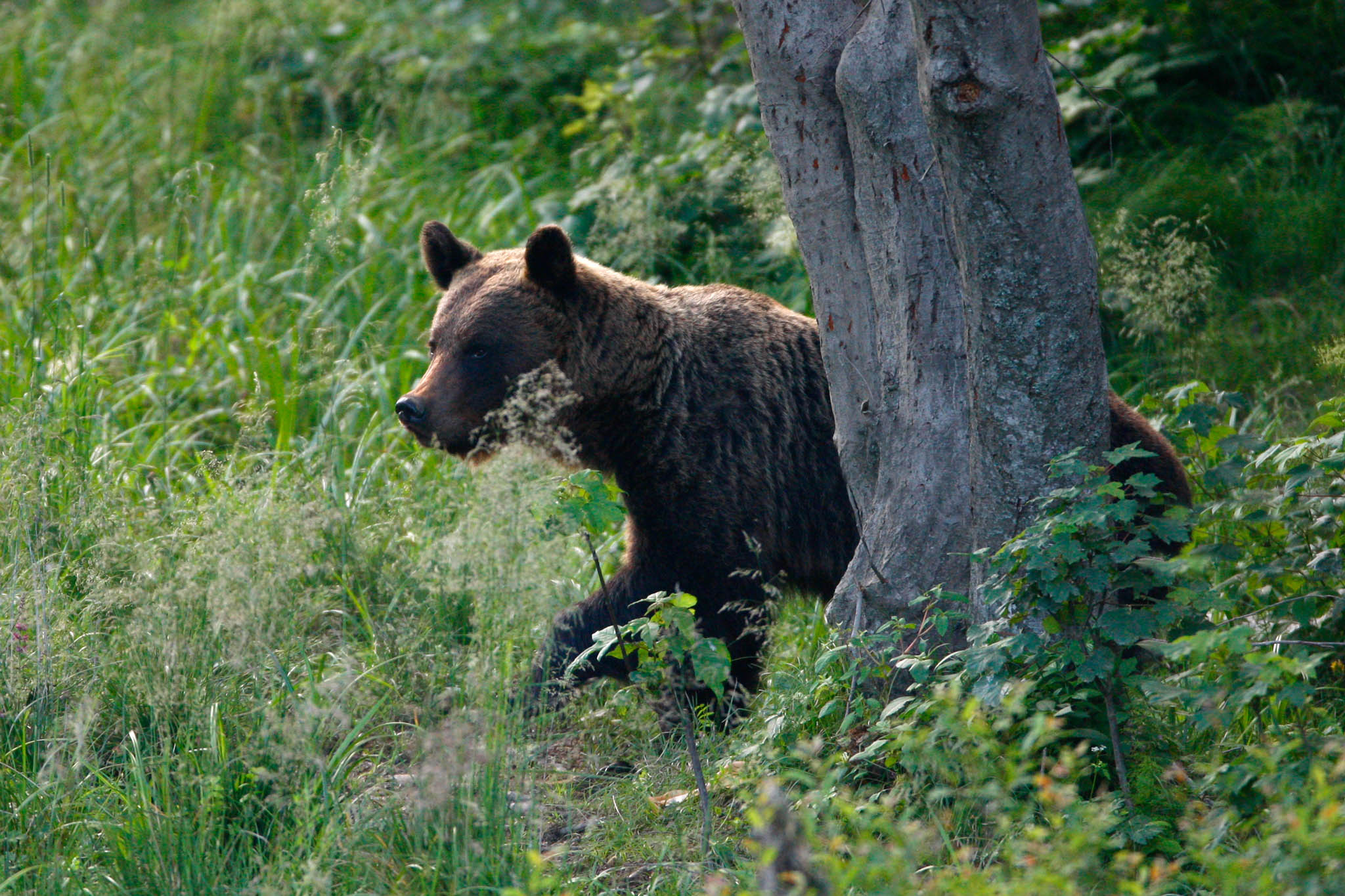 The brown bear is currently making a comeback in many areas of Europe.