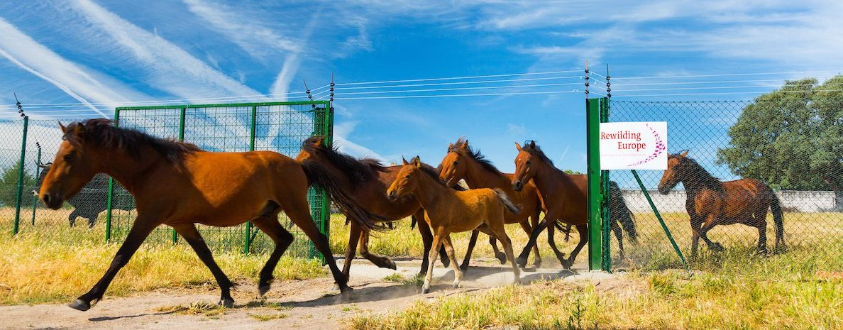 By reintroducing semi-wild herbivores such as wild horses and Tauros, Rewilding Europe and its local partners are significantly reducing the risk of fire in the Western Iberia rewilding area.