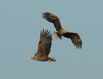 There are between 25 and 30 white-tailed eagle breeding pairs residing in the Oder Deta rewilding area.