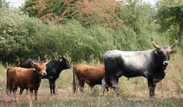 The newly arrived Maremmana bull released into one of the existing Auerrind project herds.