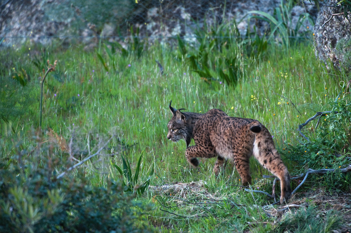 Habitat fragmentation frequently leads to isolated populations of animals with threatened viability. The small population of Iberian Lynx in Spanish Andalusia has reduced genetic diversity, for example.