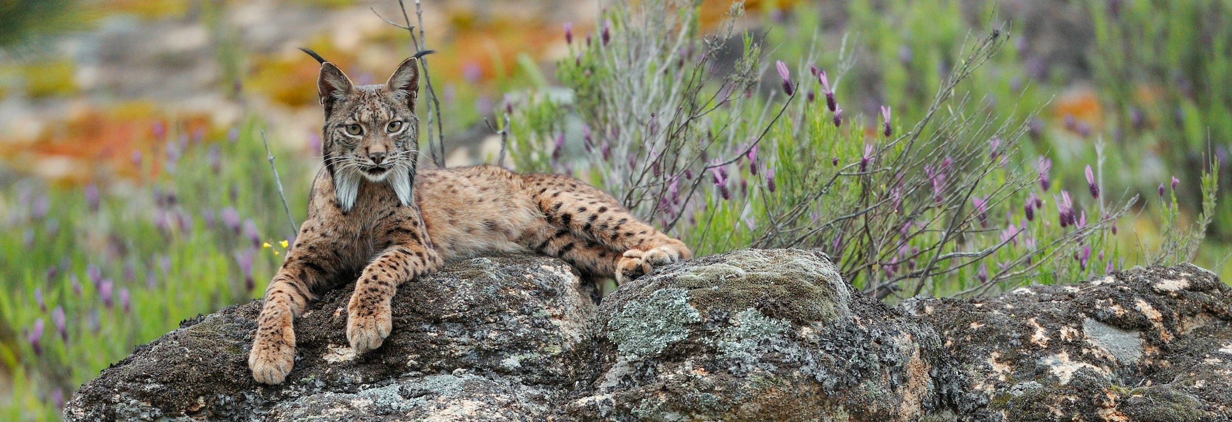 Wildlife in the Côa Valley is already making a comeback. An Iberian lynx (pictured) was recently spotted here for the first time.