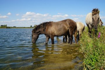 Free-roaming herds of Konik horses graze the floodplains of the Millingerwaard, contributing to the creation of a mosaic landscape.